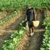 di-tengah-keraguan-akibat-covid-19-petani-di-sampang-spekulasi-tanam-tembakau