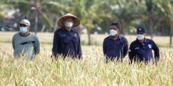 Memuaskan! Hasil Panen Padi BK-Situbondo Capai 10,56 Ton per Hektare