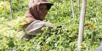 Harga Cabai Anjlok, DKPP Kota Kediri Borong Panenan Cabai Petani dengan Harga di Atas Normal
