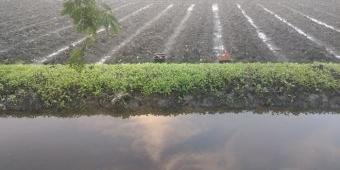 Diguyur Hujan Deras, Tanaman Tembakau Ratusan Petani di Bojonegoro Tergenang Air dan Mati
