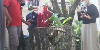 1 Ekor Musang yang Sering Berkeliaran di Perum Pondok Candra Sidoarjo Tertangkap, 3 Masih Buron